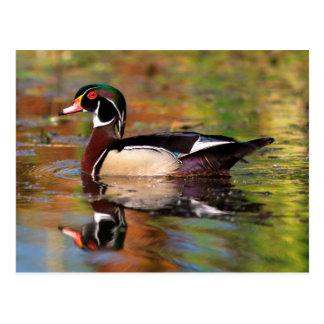 Male wood duck swims, California Postcard
