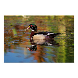 Male wood duck swims, California Poster