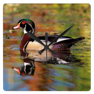 Male wood duck swims, California Wall Clock