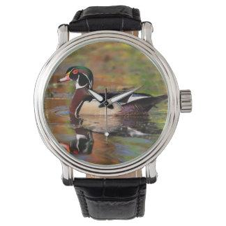 Male wood duck swims, California Watch