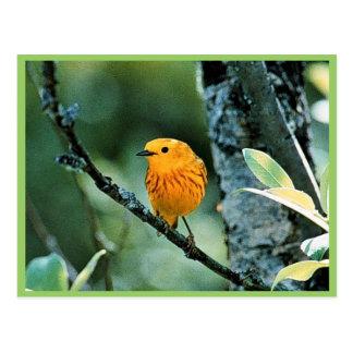 Male Yellow Warbler Postcard