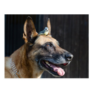 Malinois (dog) with blue tit postcard