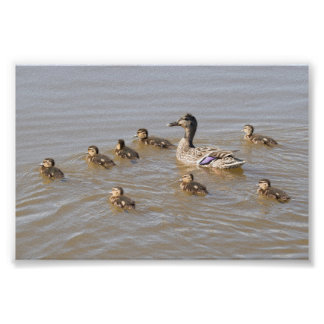 Mallard and Ducklings Poster