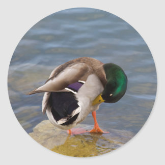 Mallard colors classic round sticker