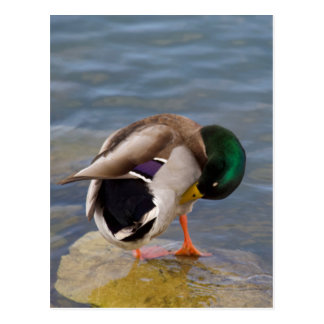 Mallard colors postcard