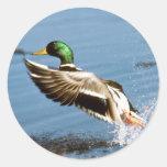 Mallard Drake Duck Round Sticker