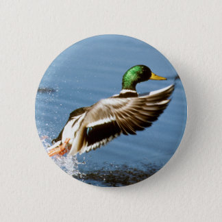 Mallard Drake Takes Flight 2 Inch Round Button