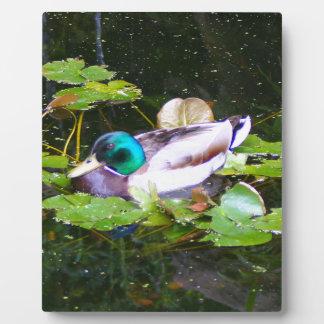 Mallard duck in a pond plaque