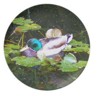Mallard duck in a pond plate