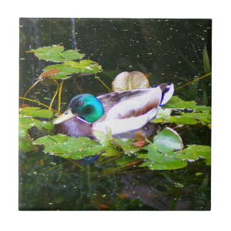 Mallard duck in a pond tile