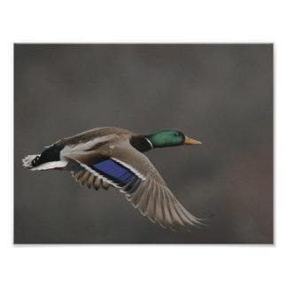Mallard Duck in Flight - 2 Photo Print