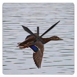 Mallard duck in flight square wall clock