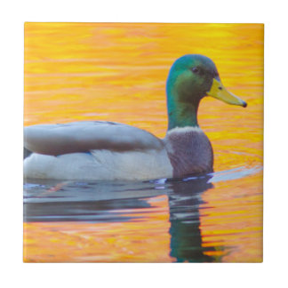 Mallard duck on orange lake, Canada Tile