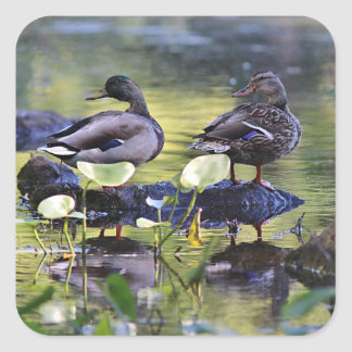 Mallard duck pair square sticker
