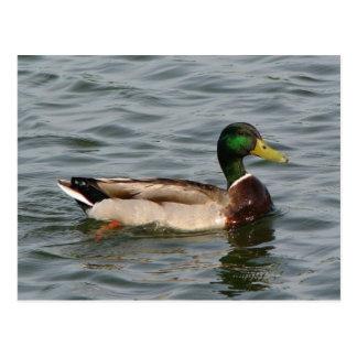 Mallard Duck Postcard