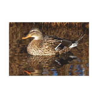Mallard Duck Reflecting Canvas Print
