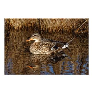 Mallard Duck Reflecting Photo Print