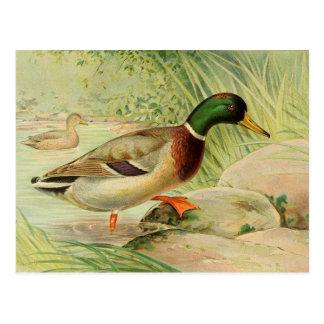 Mallard Duck Vintage Painting Post Card