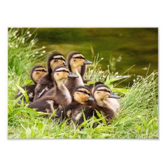 Mallard Ducklings Photo Print