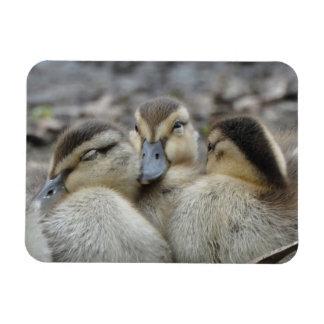 Mallard Ducklings Snuggling! Magnet
