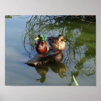 Mallard Ducks #2 Poster