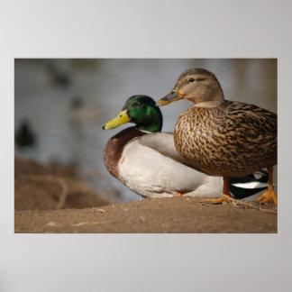 Mallard Ducks Print