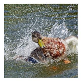 Mallard Hen Duck Splish Splash Taking A Bath Acrylic Wall Art