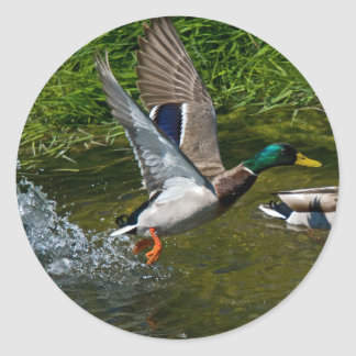 Mallard Take-off Sticker