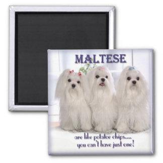 Maltese Magnet 1