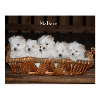 "Maltese, Puppies, Basket, ""Five Puppies"", White Postcard"