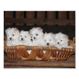 Maltese Puppies, Puppy, Dog,  Art Photo Print
