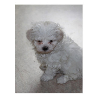 Maltese Puppy (9 Months Old) Postcard