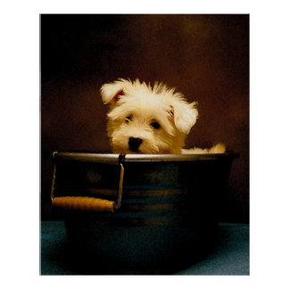Maltese Puppy in the Washtub Poster