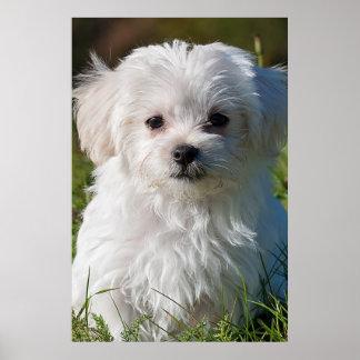 Maltese puppy poster
