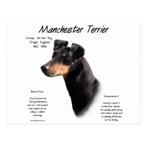Manchester Terrier History Design Post Cards