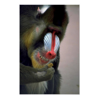 Mandrill Head Poster