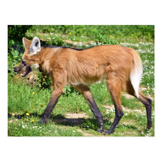 Maned Wolf walking on grass Postcard