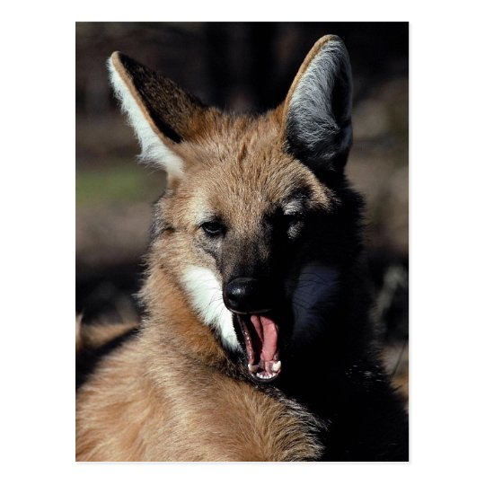 Maned wolf yawning postcard
