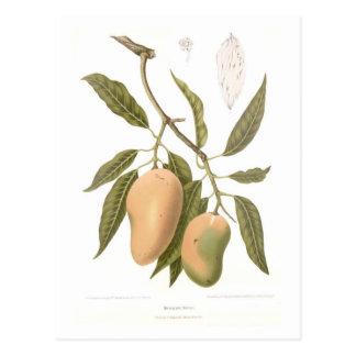 Mango Postcard