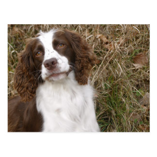 Man's Best Friend - English Springer Spaniel Postcard