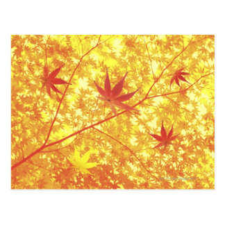 Maple leaves, close-up postcard
