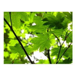 Maple Leaves with Raindrops Postcard