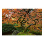 Maple Tree At The Japanese Gardens In Autumn Poster