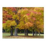 Maple trees in autumn colours, near Concord, Postcard