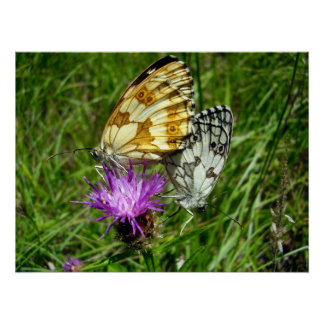 Marbled White Butterflies Poster