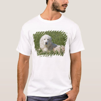 Maremma sheepdog in pasture acts as a livestock T-Shirt