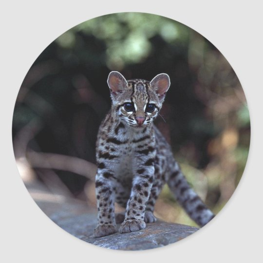 Margay (Felis wiedi) kitten in tree Classic Round Sticker