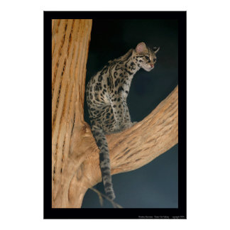 Margay (Leopardus weidii) Poster