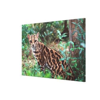 Margay, Leopardus wiedi, Native to Mexico into Canvas Print