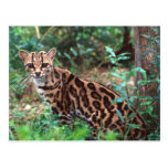 Margay, Leopardus wiedi, Native to Mexico into Post Card